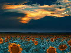 Sunflower field at sunset (Denverphotoscapes) Tags: sunflower phaseone captureonepro sunset cloudporn iq3100 100mpclub plants agriculture farm xfiq3100 denverphotoscapes denvernow