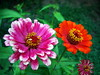 In My Garden (R_Ivanova) Tags: nature flower flowers summer sony plant zinnia garden color colors red pink green rivanova риванова цветя циния природа макро градина