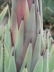 cactus spikes (jeffies.stuff) Tags: cactus flora fawna succulant spikes green summer colorado jeffsmith