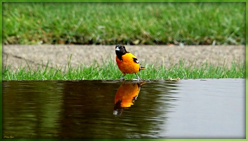 "Baltimore Oriole Reflecting Photo • <a style=""font-size:0.8em;"" href=""http://www.flickr.com/photos/52364684@N03/36742309053/"" target=""_blank"">View on Flickr</a>"