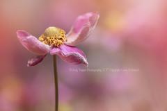 Pinkish (dog ma) Tags: pinkish pink anemone flower dogma jodytrappephotography nikon d750 nikkor 105mm bokeh