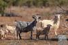 Feral Goats (David de Groot) Tags: brokenhill feralgoat goat mutawintjitrip mutawintji newsouthwales australia au