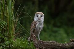 Hello handsome 750_0490.jpg (Mobile Lynn) Tags: owls barnowl birds nature bird fauna strigiformes tytoalba wildlife nocturnal otterbourne england unitedkingdom gb coth specanimal ngc coth5 npc sunrays5