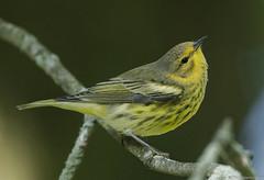 Cape May Warbler (Chuck Hantis) Tags:
