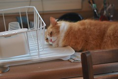 Jimmy with the dish drainer (rootcrop54) Tags: jimmy orange ginger tabby lovesdishdrainer dishdrainer love kitchen window neko macska kedi 猫 kočka kissa γάτα köttur kucing gatto 고양이 kaķis katė katt katze katzen kot кошка mačka maček kitteh chat ネコ cc1000 cc5000