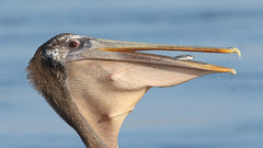 One last look! (bmse) Tags: brown pelican bolsa chica fish fishing canon 7d2 400mm f56 l bmse salah baazizi wingsinmotion