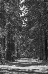 Benmore Botanical Gardens (calumccampbell) Tags: benmore botanical botanics garden gardens park green land scotland alba edinburgh tree trees redwoor redwood redwoods plants macro black white bnw mono monochrome