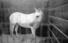 White Horse. Minnesota State Fair. September, 2017 - L_M6_21646 (erlin1) Tags: 2017 analog blackandwhite horse leicam6 minnesotastatefair september stpaul statefair summer tm100 tmaxdeveloper mn usa