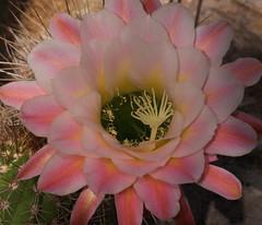 First Light, Cactus & Succulent Gardens at TBG (Distraction Limited) Tags: tucsonbotanicalgardens tucsonbotanical botanicalgardens gardens tucson arizona tbg20170831 echinopsishybridfirstlight echinopsishybrid firstlight echinopsis cactus cactusandsucculentgardens cactussucculentgardens flowers