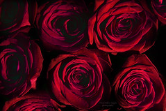 ... filled with roses (mariola aga) Tags: bouquet red roses closeup light shadow art