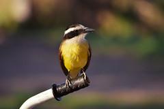 Best Friend always return (luenreta) Tags: benteveo friend featheredfriends smileonsaturday ave bird bike