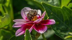 _DSC0355 (johnjmurphyiii) Tags: 06107 bees connecticut elizabethpark garden insect originalnef summer tamron18400 usa westhartford flowers johnjmurphyiii macro