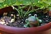 Frog In My Flower Pot (redhorse5.0) Tags: frog flowerpot flowers ornamentalfrog redhorse50 sonya850 amphibian reptile