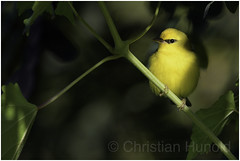 blue-winged warbler (Christian Hunold) Tags: bluewingedwarbler woodwarbler warbler songbird bird blauflügelwaldsänger johnheinznwr philadelphia christianhunold