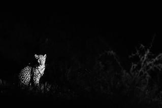 La nuit tous les chats sont gris - Léopard