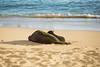 Hawaiian Monk Seals Rocky and Her Pup Kaimana (Anthony Quintano) Tags: hawaiianmonkseals monkseal seals hawaii oahu waikiki rockyandkaimana kaimanabeach oceanlife marinewildlife endangeredspecies noaa