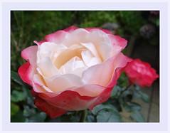 "My Lovely Rose... (Gartenzauber) Tags: ngc saariysqualitypictures ""doublefantasy"" floralfantasy"