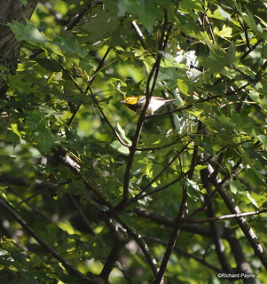 Black-throated Green Warbler_9188_01-001