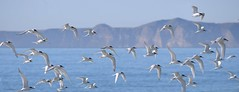 Terns in Flight (njohn209) Tags: birds nikon d500 nz