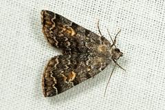American Idia - Idia americalis (mattbpics) Tags: macro moth insect wildlife nature lepidoptera canon 70d 100 100mm