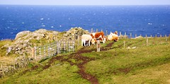 On top of the cliffs. (artanglerPD) Tags: cattle top cliffs fences gates dykes sea horizon