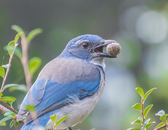 Stach time. (Omygodtom) Tags: wildlife wild nikkor nature natural nikon 7dwf dof d7100 digital bokeh nikon70300mmvrlens blue scrubjay outside composition contrast real colorful park perspective portland oregon green nuts food