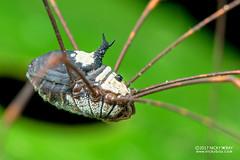 Harvestman (Opiliones) - DSC_8924 (nickybay) Tags: malaysia borneo sabah tawauhill borneobootcamp macro opiliones harvestman