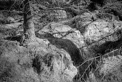 Monoculture (ShinyPhotoScotland) Tags: nature sunlight photography manipulated enfuse camera landscape flora intimatelandscape serifaffinityphotoipad scotland digikam contrasts light rawconversion lightanddark equipment mixedlight goldenhour composite highlands morvern hdr trees aoineadhmòr pentax28105mm pentaxk1 dcraw lens art places unitedkingdom gbr blackandwhite ecologyenvironmentinteraction politics woods environmentalawareness monochrome industry woodland conifer toned forestry people monoculture