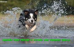 border-collie (RVtecno) Tags: cão água correr atrás pensamento