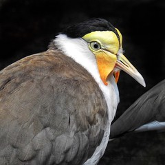 Masked Lapwing (AngelVibePhotography) Tags: animals animal maskedlapwing lapwing birds macro nikon northcarolina outdoors closeup nature nikonp900 outdoor photography wildlife feathers bird