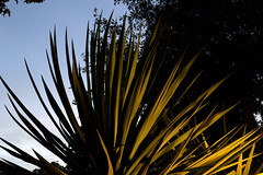 _MG_2001.CR2 (jalexartis) Tags: yucca yuccaplant shrub shrubbery nightphotography night nightshots dark lighting camranger lumecube