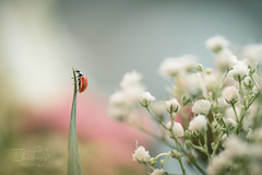Maestro (IdeaLuz Photography) Tags: sony sigma macro macrophotography macrodream macrodreams master art artistic artful fineart artistique ladybug plant flower white red insect bug depth field shallow pastel colors coccinelle a7ii animal alpha a7 a7m2 a7mii a72 nature natural light lighting