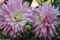 IMG_9962c (Barbara.Elizabeth) Tags: dahlia pink flower closeup plantingfields macro soft canon80d