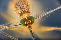 Green Eyed Fly (brianjobson) Tags: greeneyedfly green fly diptera hairy eyes head antenna dofstacking focusstacking macro micro extrememacro