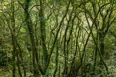 Cardinham Woods (RoyReed) Tags: cardinham trees woods england unitedkingdom gb cornwall