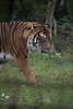 _FT01395.jpg (danse2f) Tags: tigreblanc d750 nikon septembre zoodecerza cerza 7020028vr2 zoo photoaccess tigredesumatra 2017 albumdédié