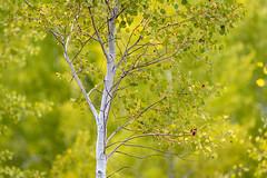 Aspen Tree, Grand Teton National Park, Jackson, Wyoming (diana_robinson) Tags: aspentree tree grandtetonnationalpark jackson wyoming abigfave greenbackground autumn fallcolors nationalpark aspen
