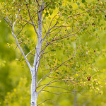Aspen Tree, Grand Teton National Park, Jackson, Wyoming thumbnail
