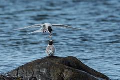 charran y polluelo (barragan1941) Tags: aves