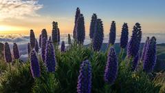 Joy of the sunrise (RIch-ART In PIXELS) Tags: madeira portugal prideofmadeira picodoarieiro flora flowers fog mist clouds echidiumcandidans blue mountains mountainridge lupine sunrise leicadlux6 leica dlux6