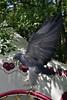 2017-08-06 14-42-05 _K1_4154ak (ossy59) Tags: k1 pentax oberursel oberurselerfeyerey dfa hdpentaxdfa28105mmf3556eddcwr 28105 blaubussard blauadler blackchestedbuzzarseagle adler eagle aguila aguja aguilaescudada geranoaetusmelanoleucus kordillerenadler