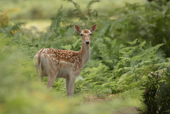Fallow-Deer-2336 (Kulama) Tags: fallowdeer deer animals nature wildlife woods bracken fern summer canon7dmarkii sigma150600563c