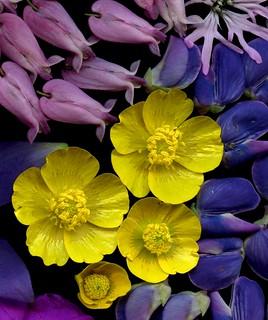 58393.06 Dicentra eximia, Lychnis flos-cuculi, Lupinus perennis, Ranunculus acris