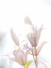 Oriental Lily (TrotterFechan) Tags: orientallily flowersun pink