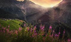 alpine wildflowers (Chrisnaton) Tags: southtyrol alpine mountains eveningmood eveninglight eveningsky alpineflowers aml
