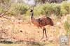 Emu (David de Groot) Tags: bird brokenhill emu mutawintjitrip mutawintji newsouthwales australia au