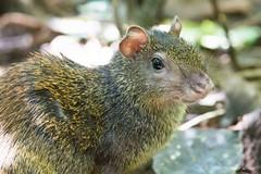 _DSC3152 (P2 New) Tags: 2016 agouti animaux costarica date décembre mammifères parcnationalcarara pays provinciadepuntarenas