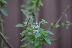 Tulsi Holy Basil (Bulbulal) Tags: medicinalplant tulsileafs tulsipata tulsi