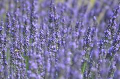 Lavender field (dfromonteil) Tags: fleurs flowers lavande lavender purple violet pourpre blue bleu colors couleurs bokeh plant plante nature lumière light summer été