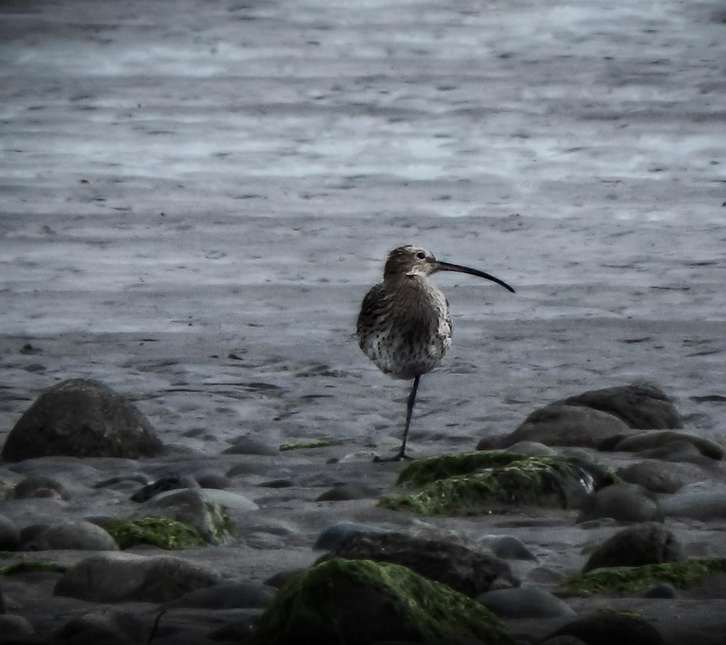 Curlew on Maryport Beach, Cumbria, UK